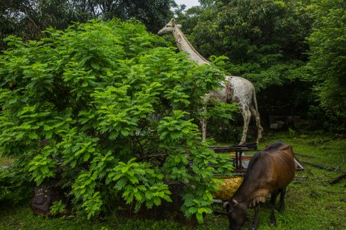 Animal models (shipped over from a branch of the Rainforest Cafe when the resort was built and left there after it closed in 2007) are seen at an abandoned resort at Tai She Wan (aka. Big Snake Bay) in Sai Kung. 04AUG17